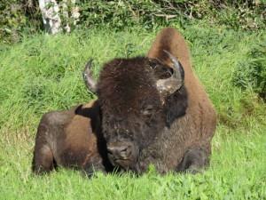 Wir sahen viele Bisons am Strassenrand oder mussten anhalten und warten, bis sie die Strasse überquert hatten.