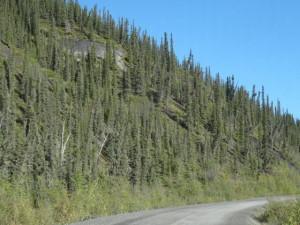 Wegen des Permafrostes rutscht die oberste Bodenschicht auf dem gefrorenen Untergrund ab und lässt einzelne Bäume wie betrunken erscheinen.