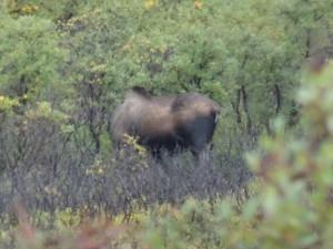 Wir sahen aber doch ein paar Tiere: Einen Elch