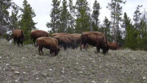 Wir sahen Bisons.