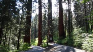 Eine Vierergruppe von Sequoia National Park: Mammutbäumen stehen Wache.