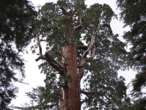 Krone des Sequoia Baumes. Die unteren Äste sterben im Laufe der Jahre ab.
