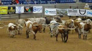 Eine Herde von Langhorn Rindern wurde vorgehrt.