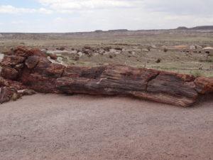 Vor Urzeiten wurden umgestürzte Bäume in Sandbänken so luftdicht zugeschüttet, dass sie nicht verrotteten, sondern versteinerten.