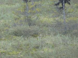 Und was wäre wohl auf diesem Bild, wenn es etwas geworden wäre?Ein Bär. Direkt neben der Strasse.Als er uns kommen hörte, verschwand er aber ganz schnell im Unterholz.